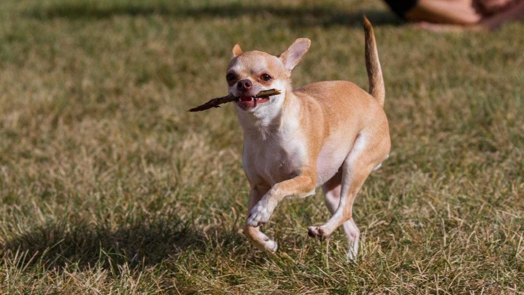 Play Games With Your Chihuahua