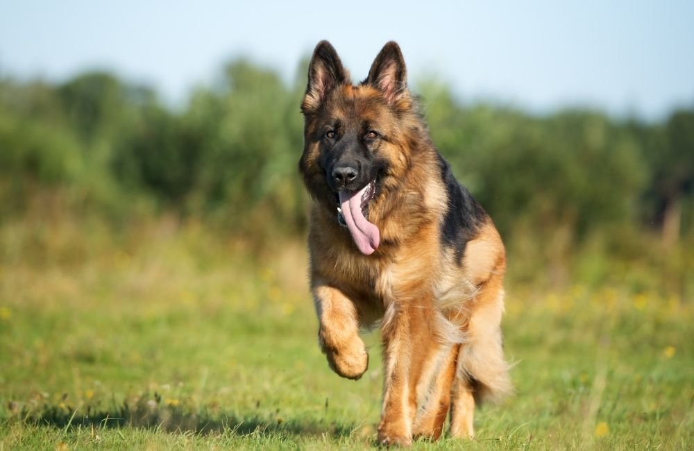 At What Age Do German Shepherds Become Energetic?