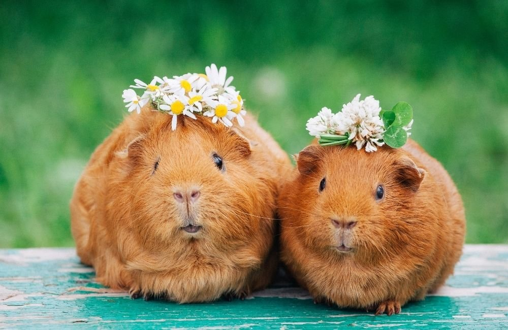 Behaviors which show that guinea pigs have bonded