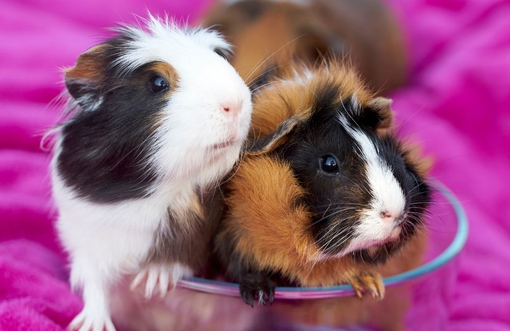 Can Guinea Pigs Have Blankets In Their Cage