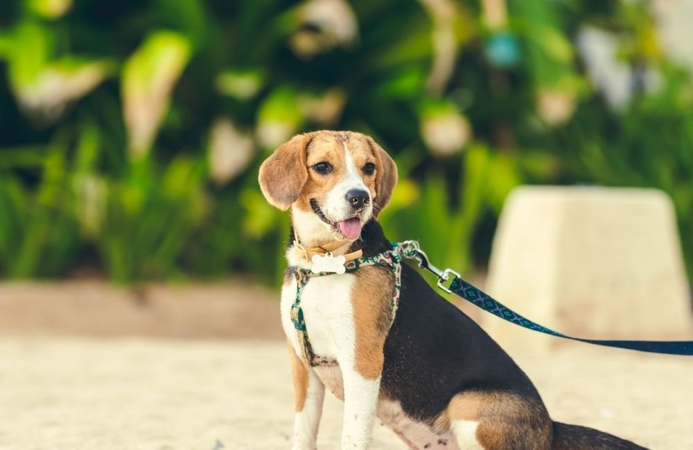 Things to consider and know before adopting a Beagle