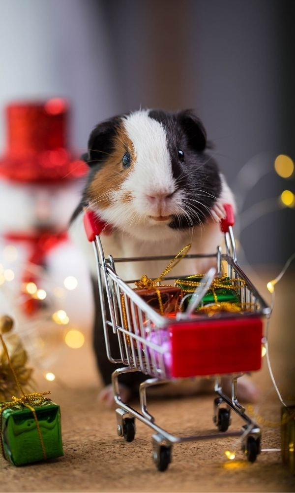 Things you can teach your smart guinea pig