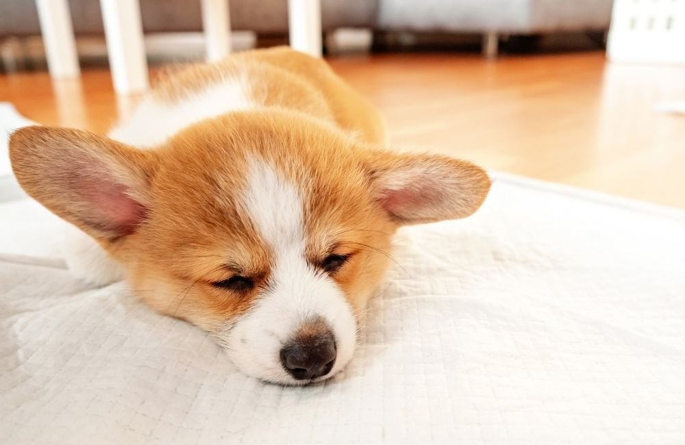 Train Your Puppy Using Potty Pads
