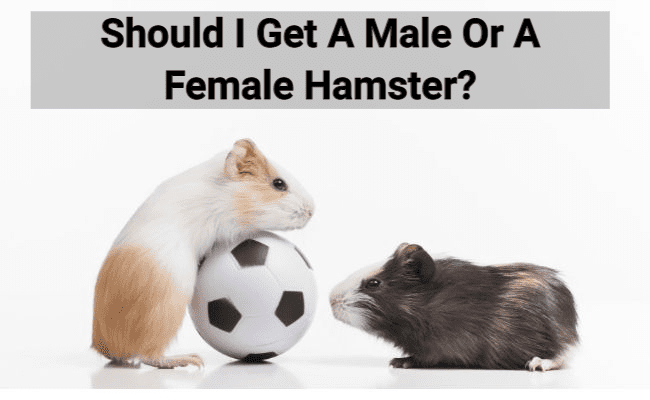 Should I Get A Male Or Female Hamster?