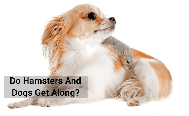 Do Hamsters And Dogs Get Along?