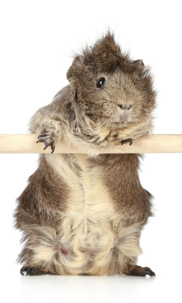 What to do if your guinea pigs are unhappy