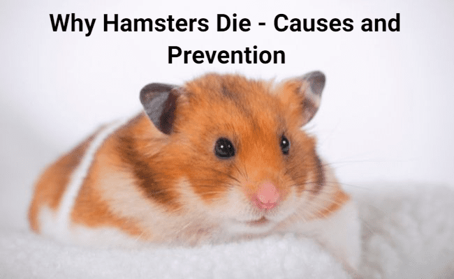 Why Hamsters Die - Causes and Prevention