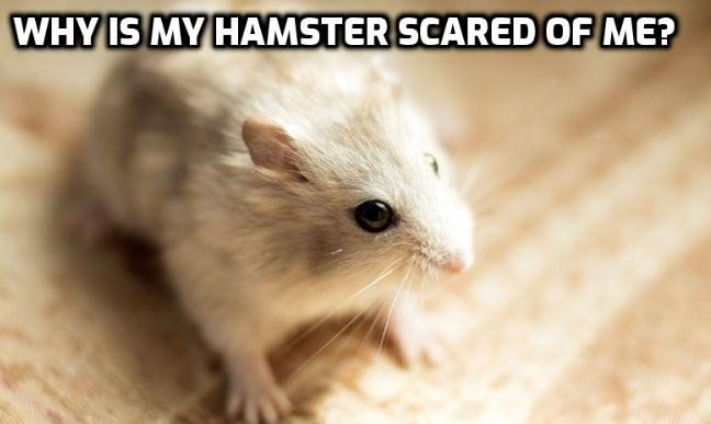 Why Is My Hamster Scared Of Me -Stopping It Is Easy!