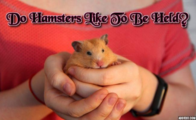 Do Hamsters Like To Be Held? Dos and Don'ts