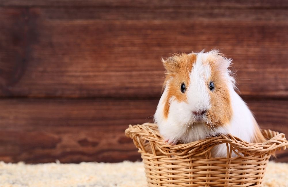 Are strawberries harmful to guinea pigs?